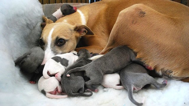 Whippet_and_puppies
