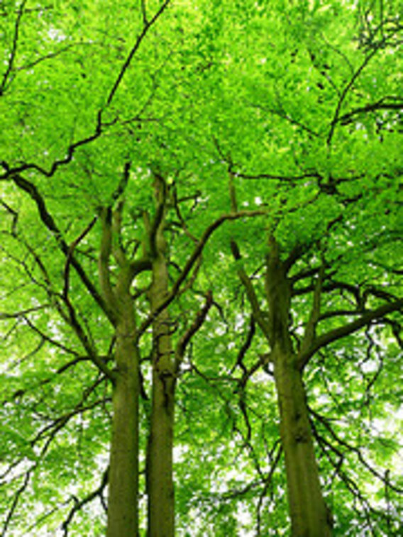 Very_green_tree_foliage