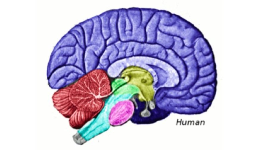 Study the more altruistic you are the bigger will be this part of study the more altruistic you are the bigger will be this part of your brain big think ccuart Images