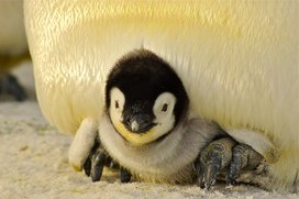 Baby_penguin_resized