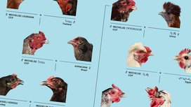 Chicken_family_tree