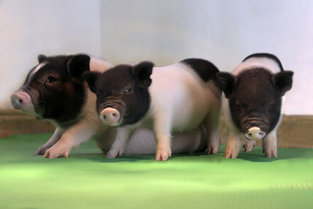 CRISPR-Cleaned Piglets Have Been Cloned for Organ Donation