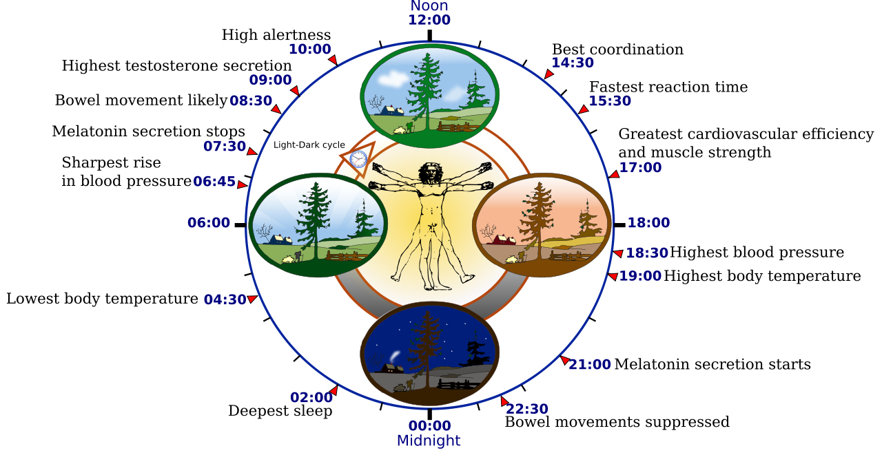 Human biological clock, circadian rhythm
