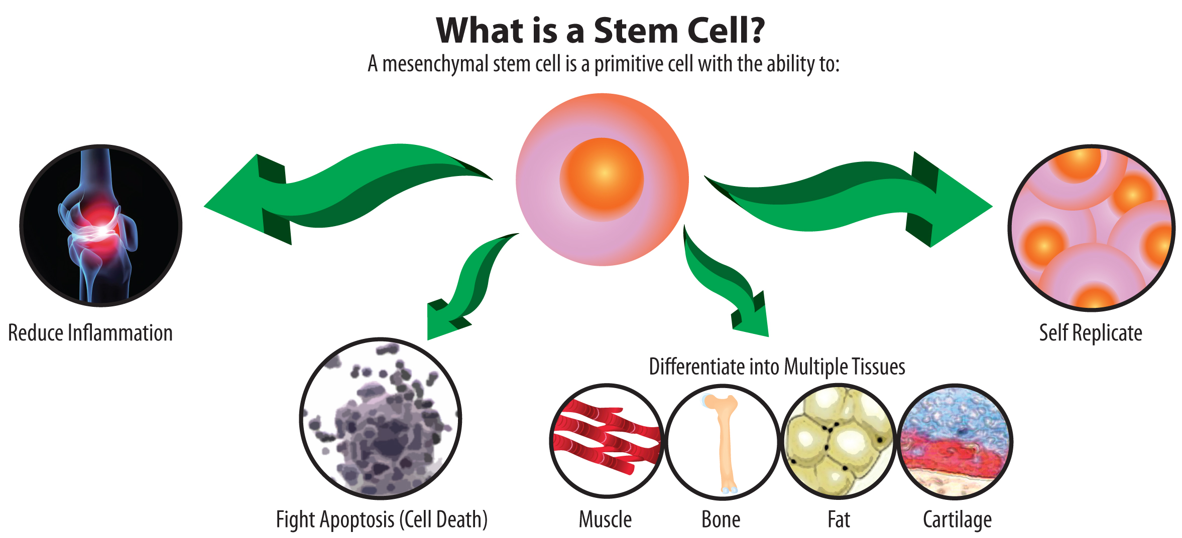 the remarkable abilites of stem cells Embryonic cells that have the potential for unlimited renewal and have the ability to develop into different kinds of mature cells if they are transplanted to different sites are often called embryonic stem cells.