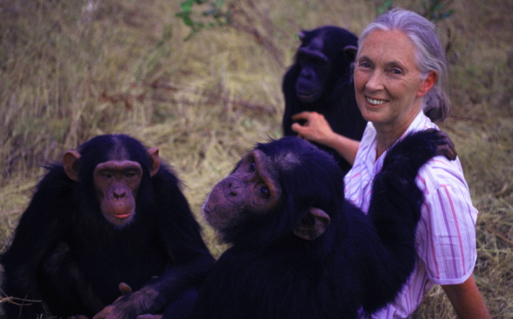 goodall and chimps