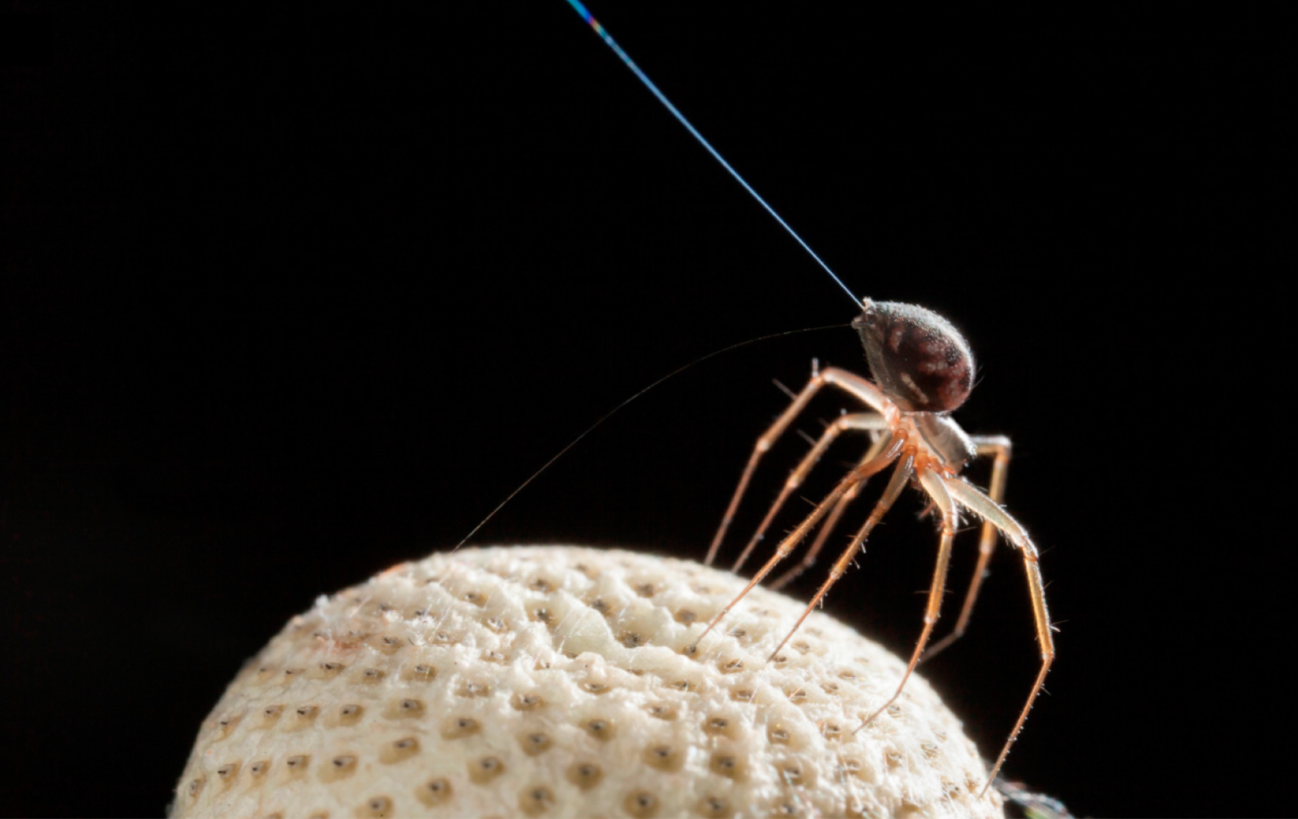 Spiders Use Atmospheric Electricity to Fly Hundreds of Miles | Biology